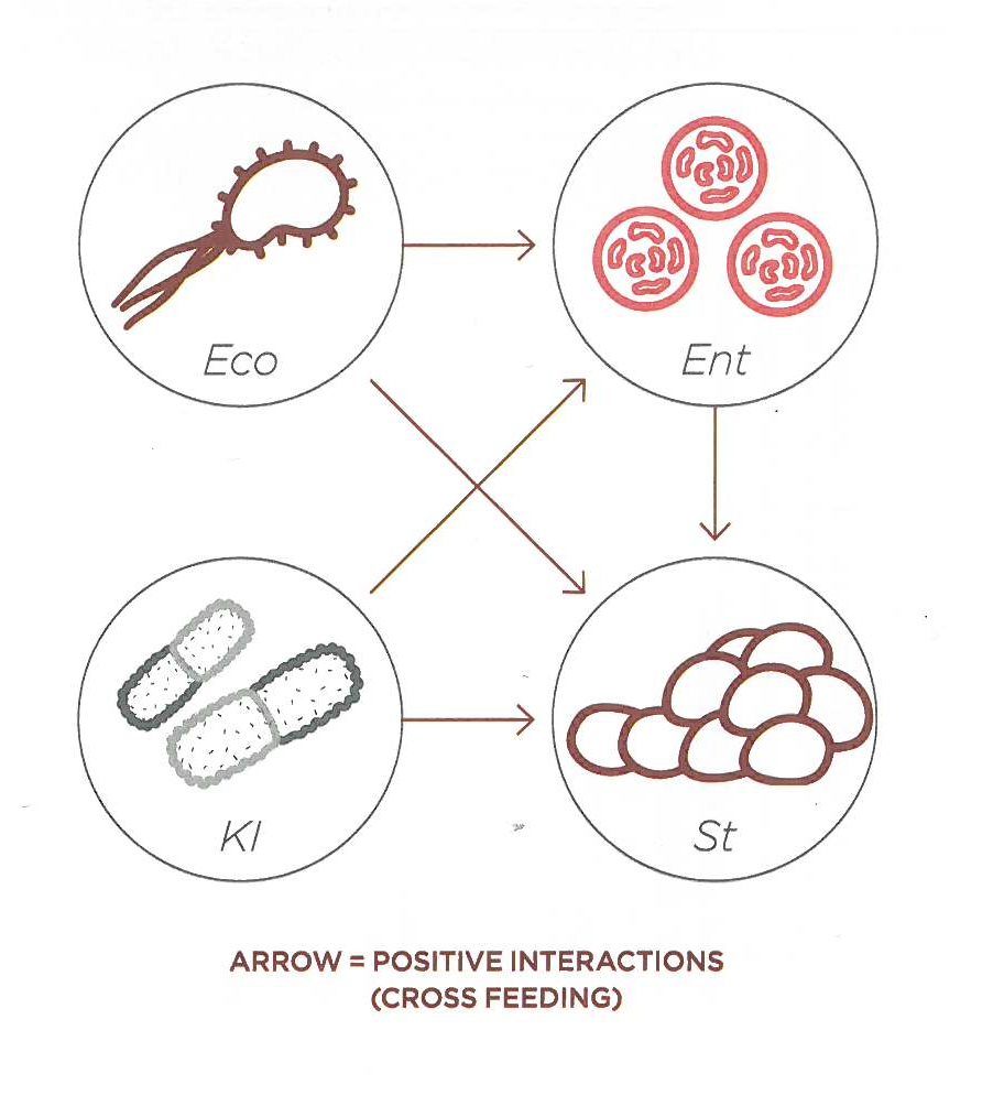 Arrow = Positive Interactions (Cross Feeding)